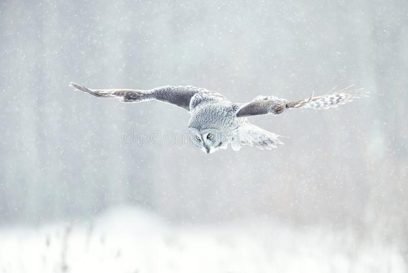 Close up of Great grey owl in flight in winter stock image