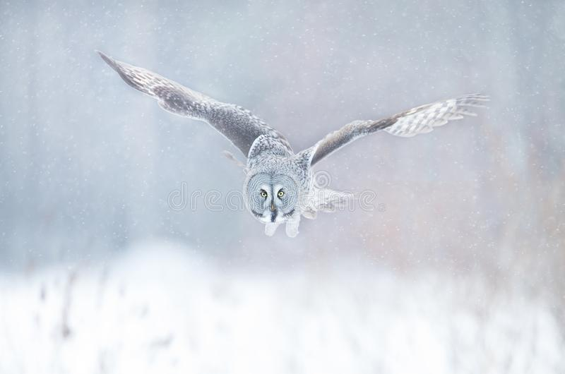 Close up of Great grey owl in flight in winter royalty free stock photos
