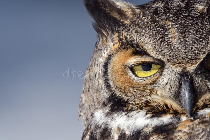 Great Horned Owl in Snow in the Winter royalty free stock photo