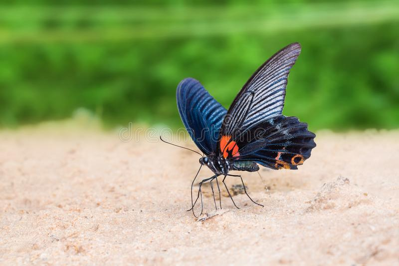 Great Mormon Papilio memnon butterfly. Close up of Great Mormon Papilio memnon butterfly mud-puddling on the ground in nature royalty free stock photography