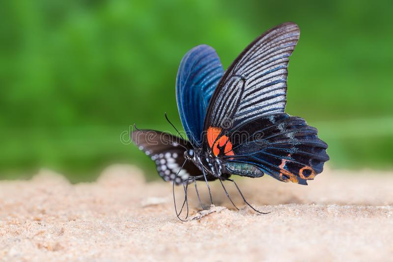 Great Mormon Papilio memnon butterfly royalty free stock image
