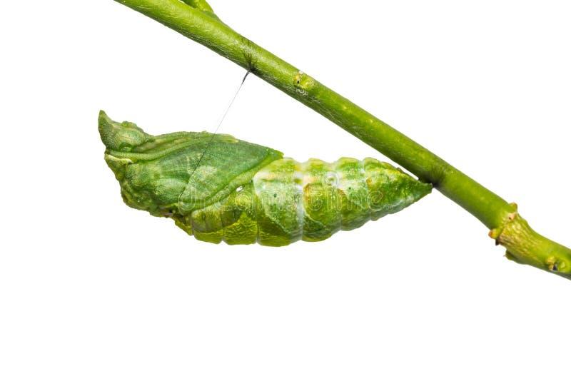 Great Mormon Papilio memnon pupa stock photo