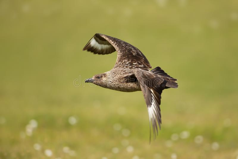 Close up of Great Skua in flight against green background stock photo