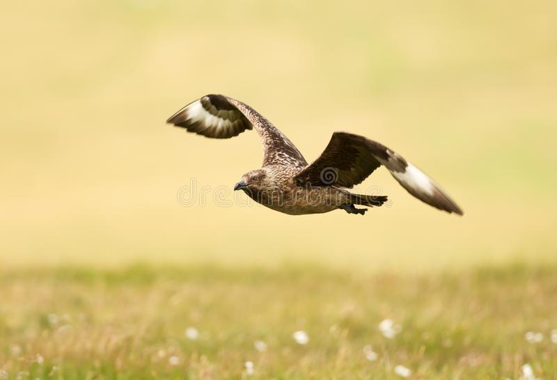 Close up of a Great skua in flight royalty free stock photo