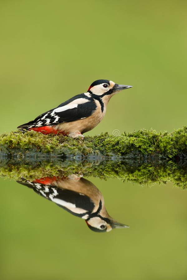 Close up of Great spotted woodpecker and his reflection stock photos