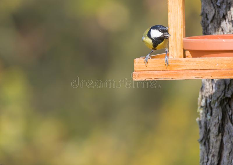 Close up Great tit, Parus major bird perched on the bird feeder table with sunflower seed. Bird feeding concept. Selective focus royalty free stock photos