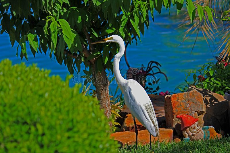 Great White Egret in Cypress, TX royalty free stock photography