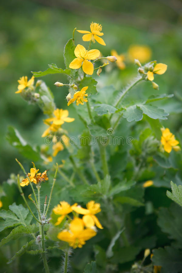 Close up of a greater celandine royalty free stock images