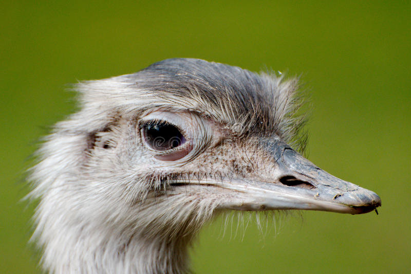 Close up of a greater rhea stock photos