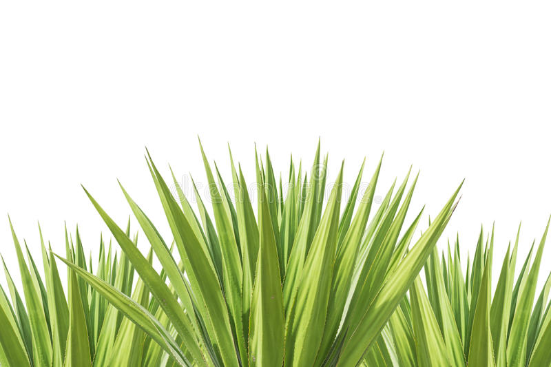 Close up green agave plant isolated on white royalty free stock photography