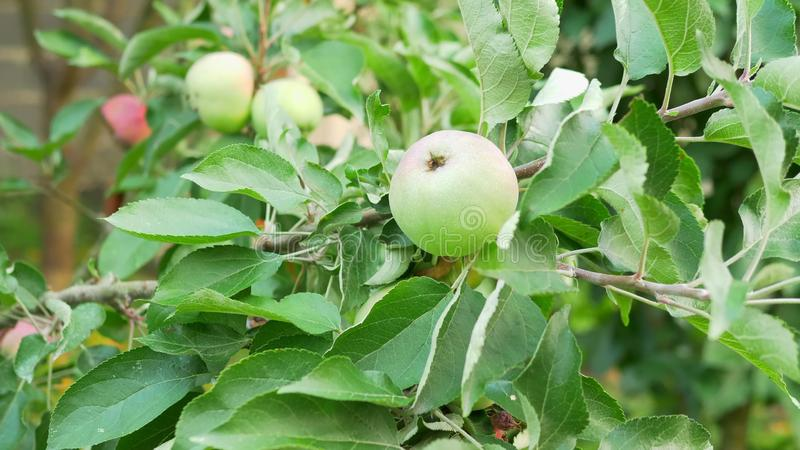 Close-up. Green apples on a tree branch. royalty free stock photography