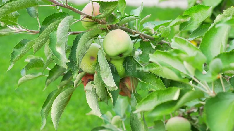 Close-up. Green apples on a tree branch. stock image