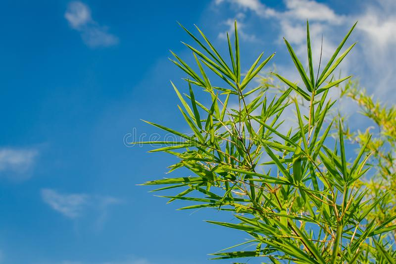 Green bamboo leaves with blue sky and sunlight in the background in sunny day. Close up green bamboo leaves with blue sky and sunlight in the background in stock photos