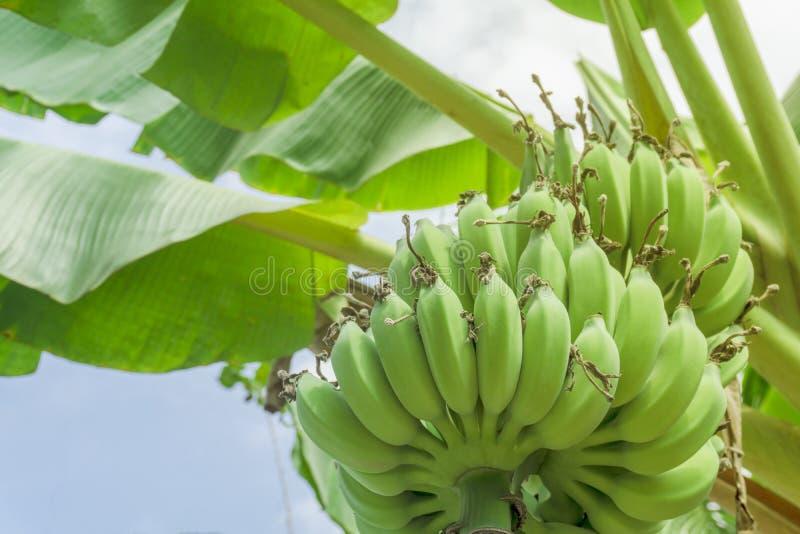 Close up green banana on tree, low angle view. Close up green banana on tree royalty free stock images