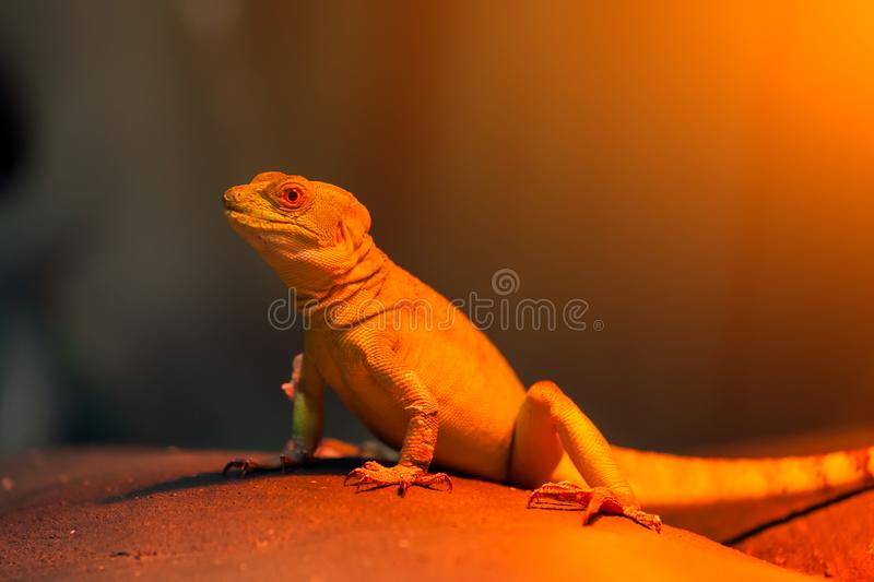 basilisk lizard stock images