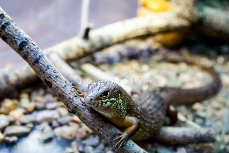 Young beautiful iguana royalty free stock image