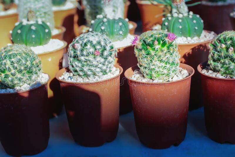Green cactus in the garden. Close up of green cactus in the garden stock image