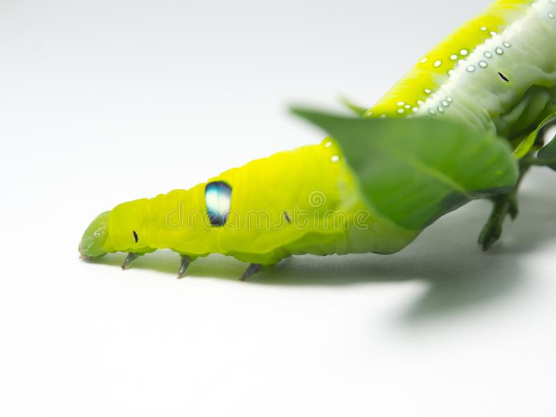 Close up Green Caterpillar`s head with green leaf isolated on white background. stock image