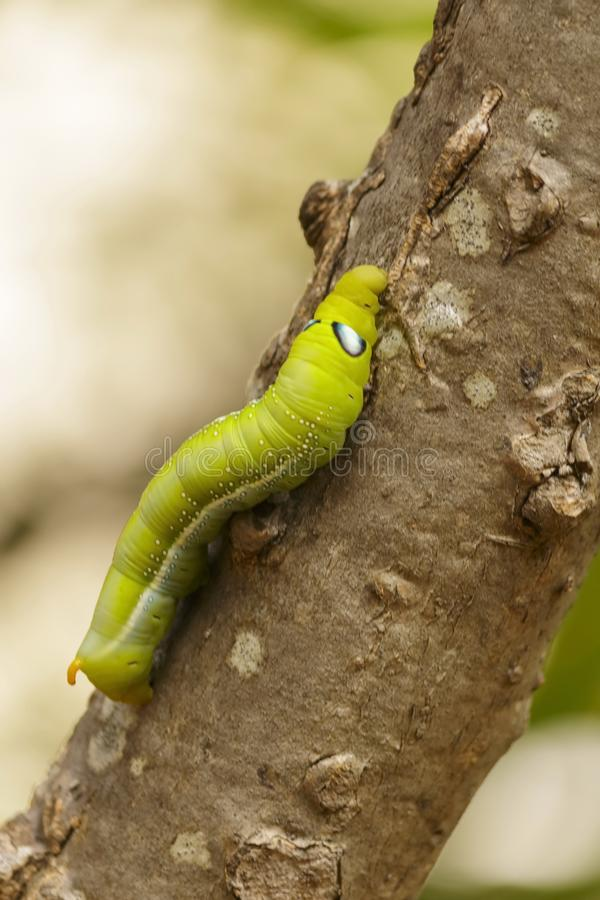 Close-up of green caterpillars on natural trees royalty free stock photography