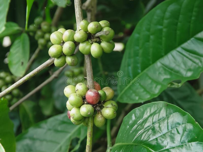 Close up of green coffee berries growing on a bush at a plantation. On bali stock photos