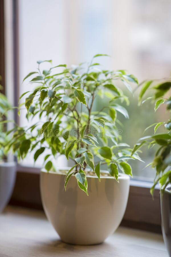 Close up of green decorative plant in pot on windowsill. Blurred background stock images