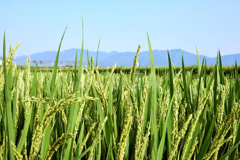 Close-up of a green field of rice that is not ripe yet with a hint of dew dangling on its end in Jechun, South Korea stock photography