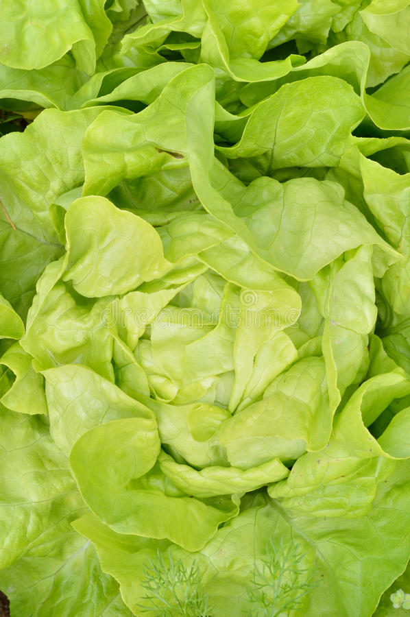 Close-up of green, fresh lettuce. royalty free stock photography