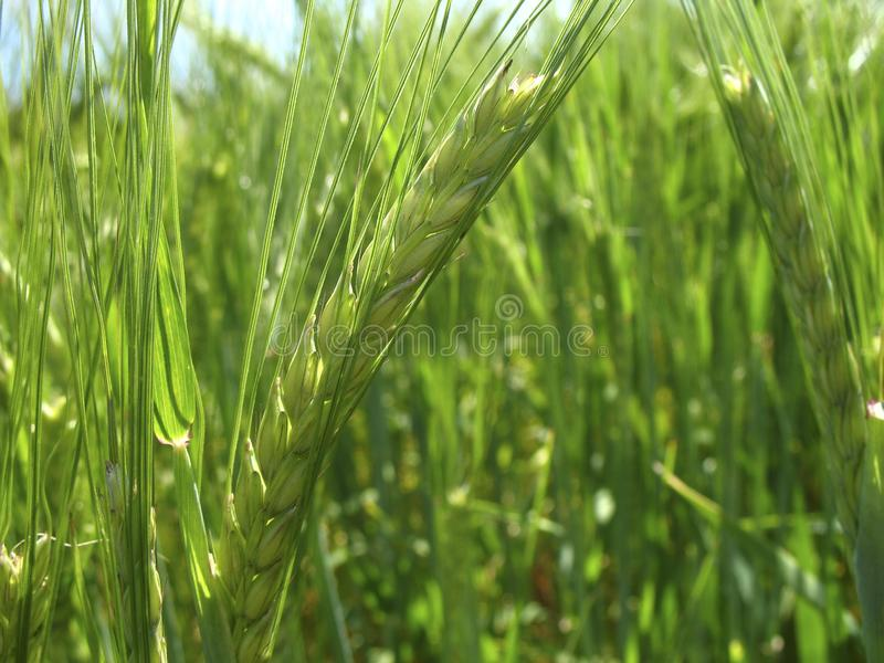 Close up of a green fresh wheat ear. Beautiful spring landscape - view at the wheat field in The Netherlands stock photography