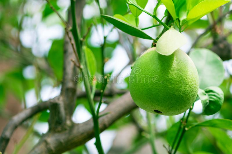 Close-up of green grapefruit on tree against sky background. Tropical fruits.  royalty free stock photos
