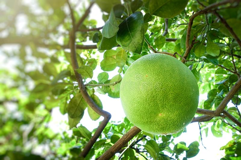 Close up of green grapefruit on a tree stock photo
