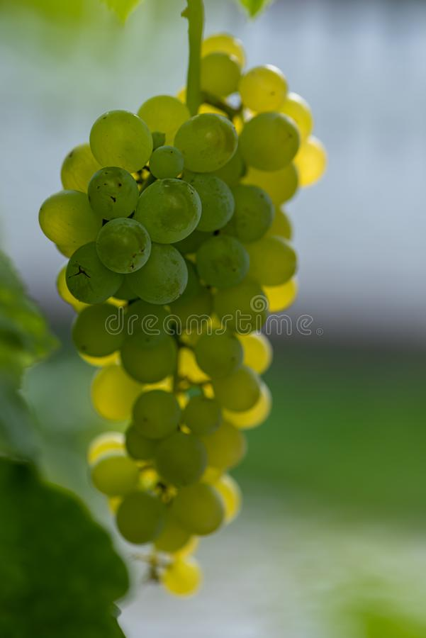 Close up of a green grapevine on the vine in front of blue sky royalty free stock image