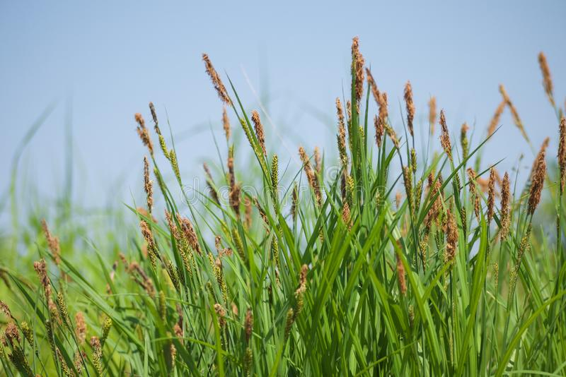 Close up of green grass with brown spikes on background of the blue sky royalty free stock photography