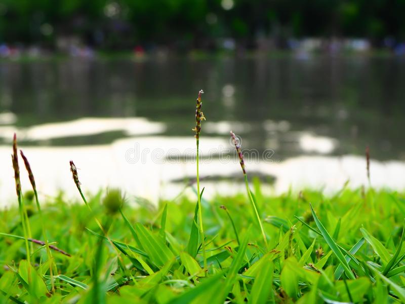 Close up green grass field with lake. Green field of grass background. stock images