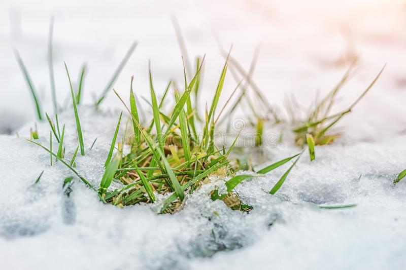 Close-up of green grass sprout through snow cover. Beginning of spring. End of Winter. Nature awakening concept.  stock photos