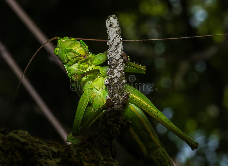 Close-up of a green grasshopper. Detail leg and head of green grasshopper stock photography