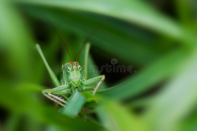 Close-up of a green grasshopper. Face to face with a big green grasshopper hidden in the green grass royalty free stock image