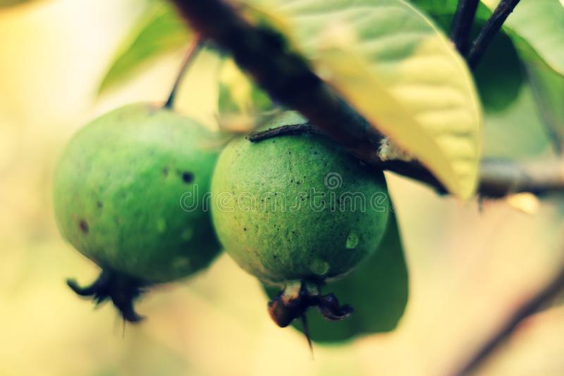 Close up of green guava and branch stock images