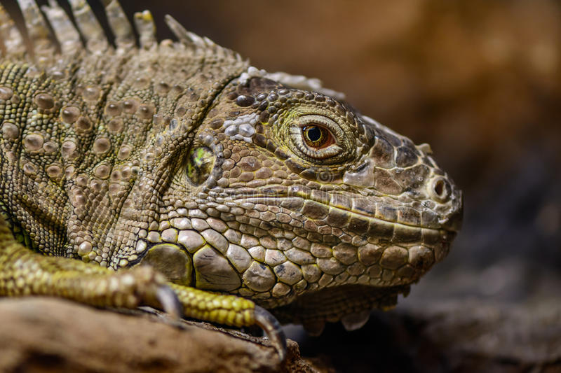 Close-up of a green Iguana. Calm and beautiful green iguana reptile portrait closeup at zoo.. Close-up of a green Iguana. Calm and beautiful green iguana royalty free stock image