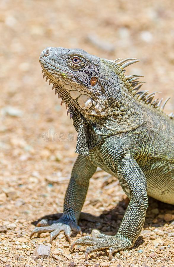 Close up green iguana head and front legs. On gravel royalty free stock photography