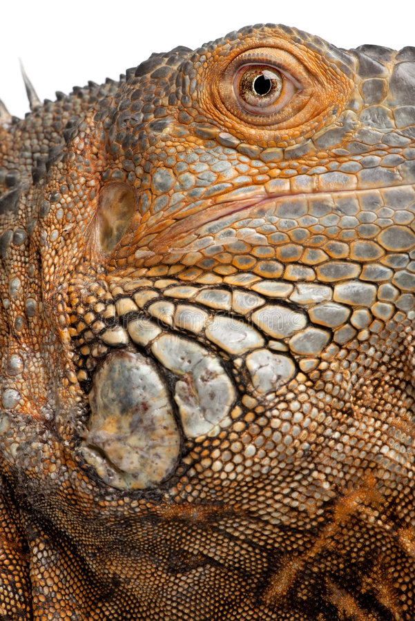 Download Close-up On A Green Iguana - Iguana Iguana (6 Year Stock Photo - Image: 9086682