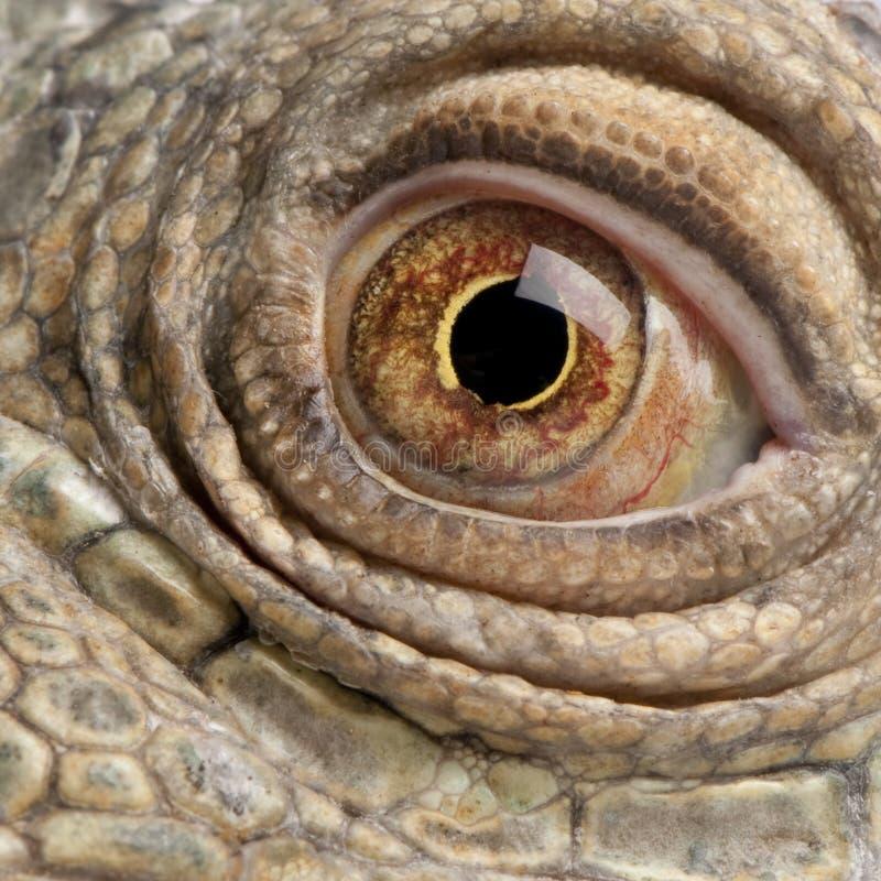 Download Close-up On A Green Iguana - Iguana Iguana (6 Year Stock Image - Image: 9086727