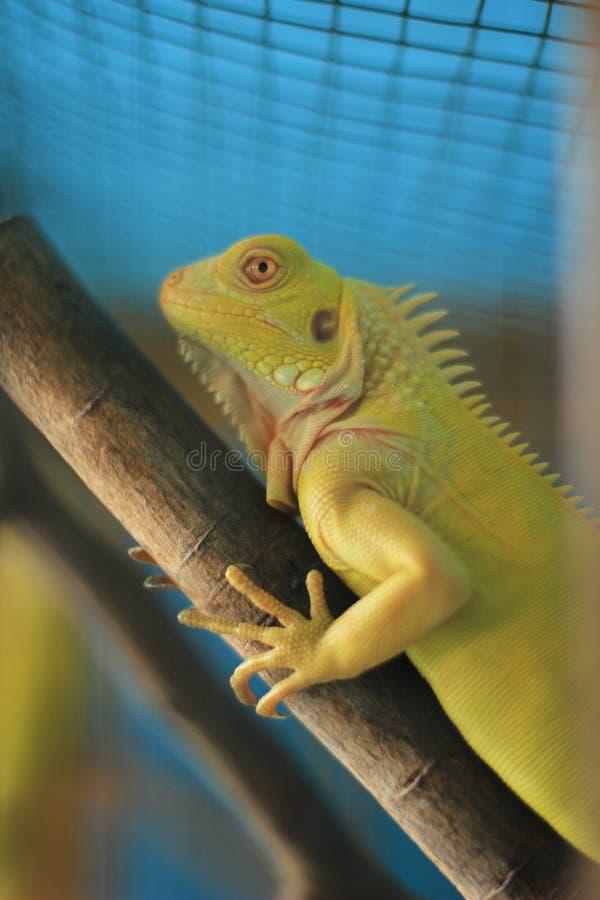 Close up of green iguana. selective focus stock image