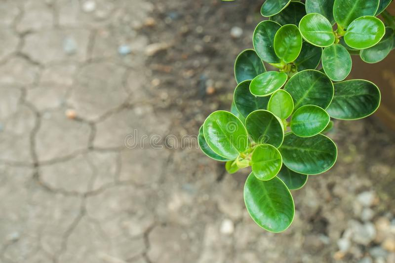 Green ivy climber plants grow in dry and crack soil in summer royalty free stock photo