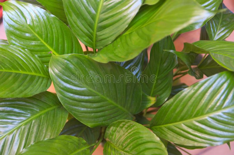 Large and green leaves of a peace lily or espatifilo. Close-up of the green and large leaves of a peace lily or espatifilo which is an indoor plant that adapts stock photography