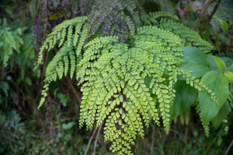 Close up of green leaf of alpine fern plant with fractal leaf structure stock photo