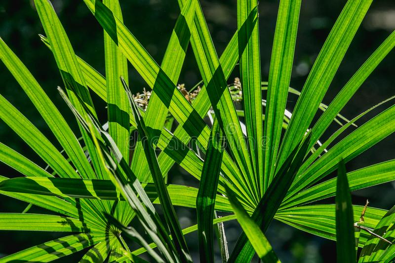 Close up green leaf background lady palm or Bamboo palm leaf Rhapis exclesa, PLAMAE. royalty free stock photography