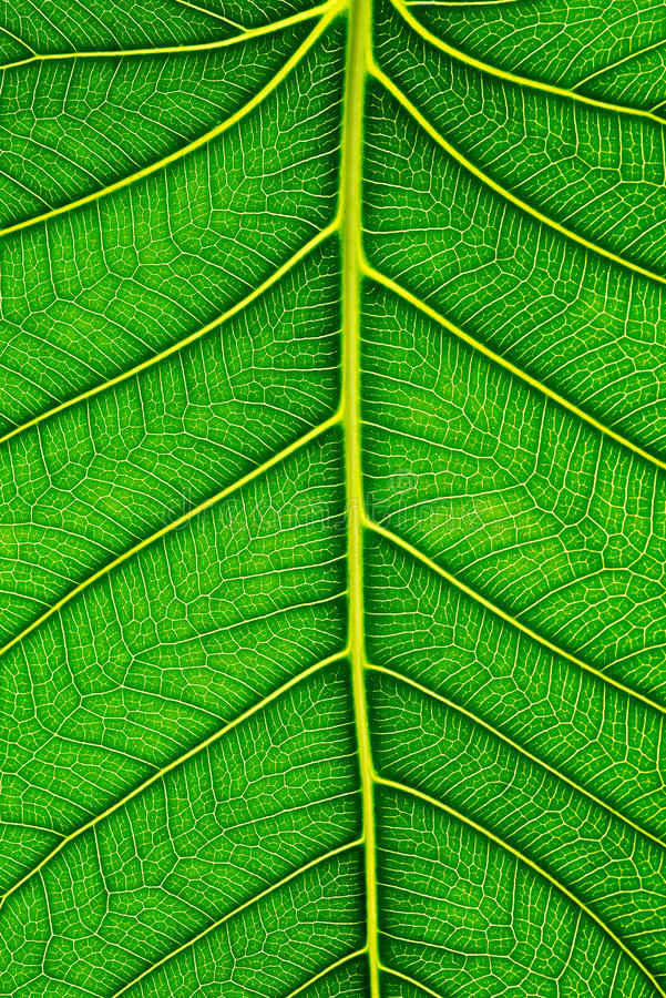 Close up of Green leaf texture Bo leaves on white background.  royalty free stock photos