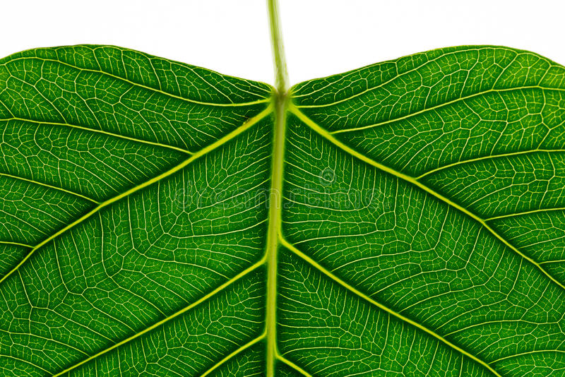 Close up of Green leaf texture Bo leaves on white background.  royalty free stock photography