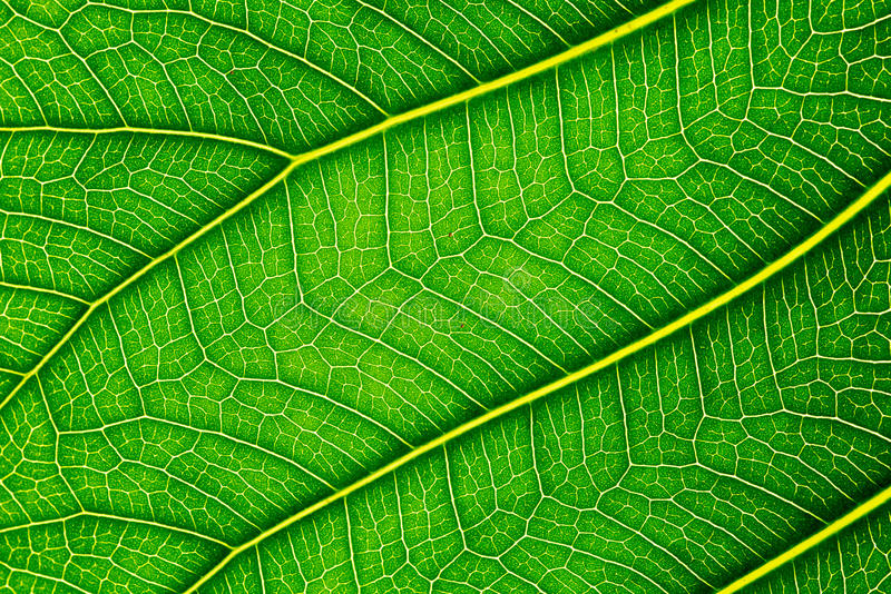 Close up of Green leaf texture Bo leaves on white background.  stock images
