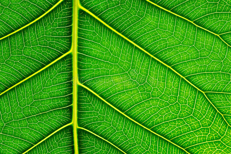 Close up of Green leaf texture Bo leaves on white background.  stock image